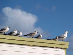 seagulls_7